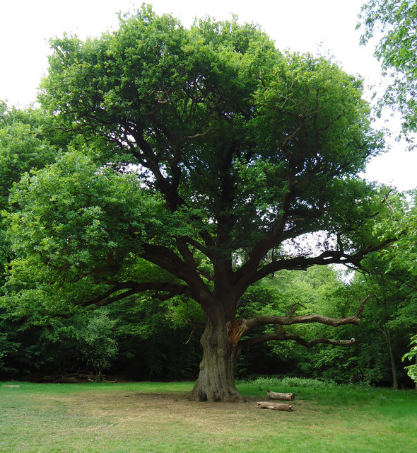 Grimston's Oak, Epping Forest