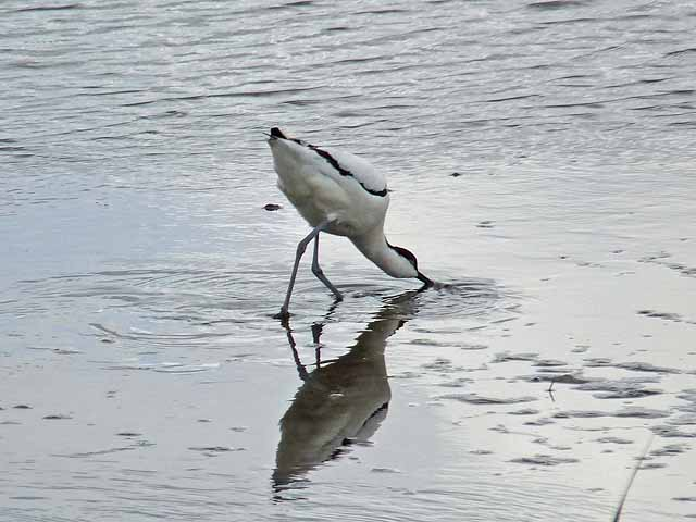 Avocet at Blacktoft Sands