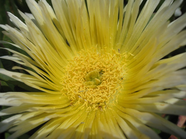 Lizard Peninsula - Hottentot Fig's yellow flower