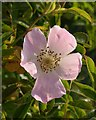 SX9266 : Wild rose above Shag Cliff : Week 20