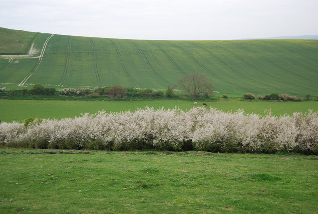 Blossom on the South Downs escarpment