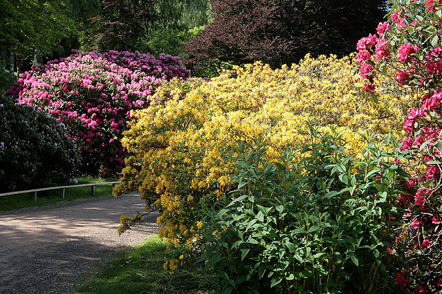 Rhododendrons in Abbotsford House grounds