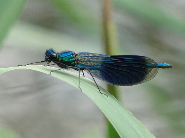 Damselfly by the River Yare
