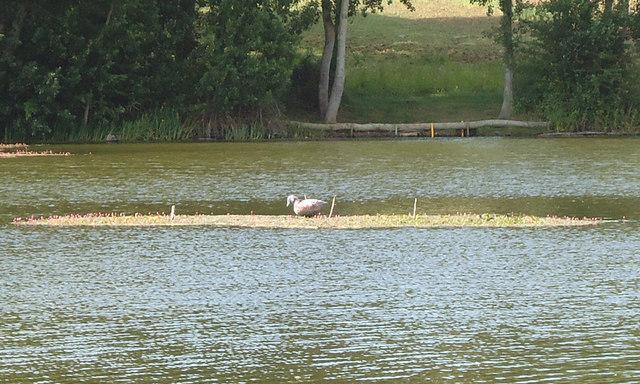 Sitting duck, decoy pond