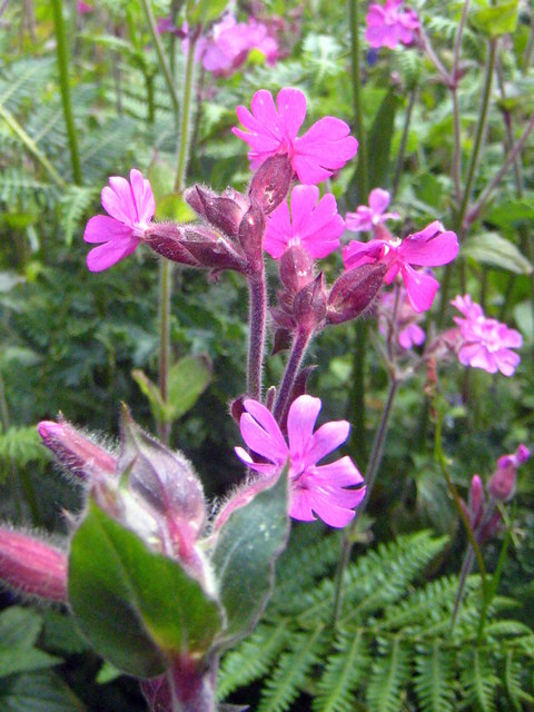 Red Campion flowers (Silene dioica)