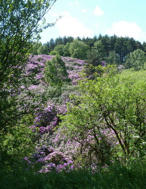 Hillside with rhododendrons
