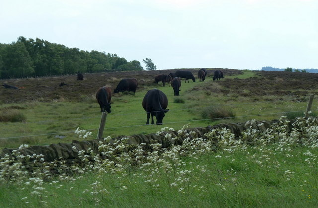 Cows grazing the path on Ramsley Moor