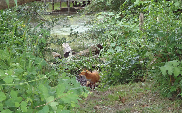 Fox nr pond, Running Water Brook, Belhus