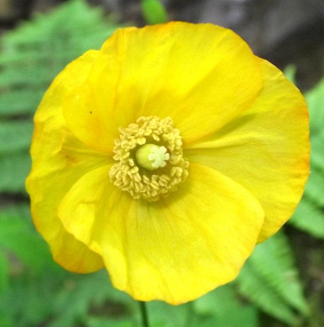 Flower of the Welsh Poppy