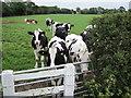 SJ4671 : Cows in a field by Jeff Buck