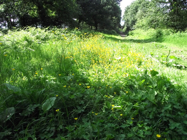 Buttercups and Bracken