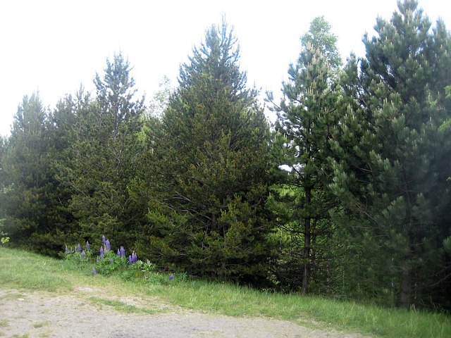 Lofthouse Colliery Nature Park - pine trees