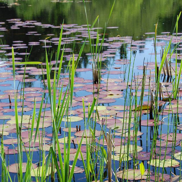 Reeds and lily pads