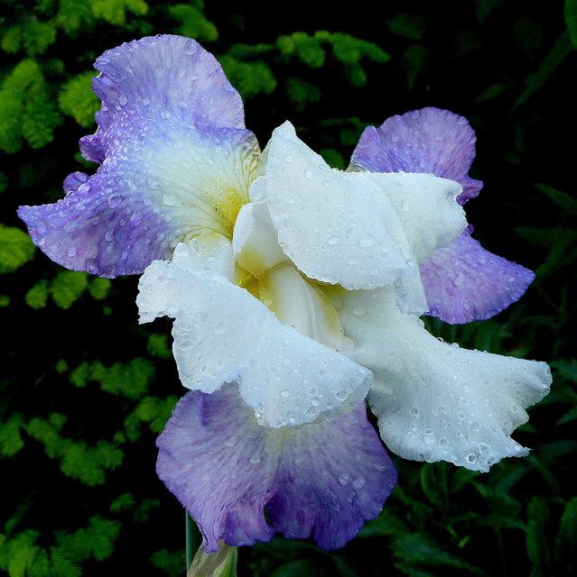 Blue iris after rain