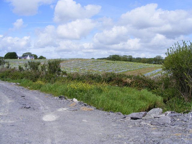Maize field - Bigmarsh Townland