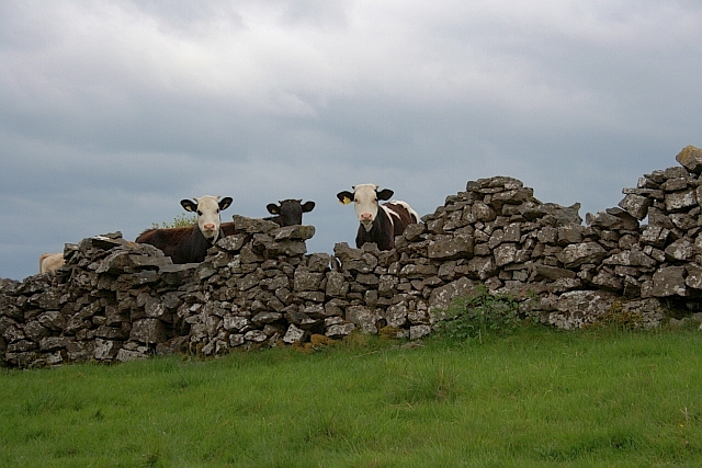 Calves Looking Over a Dry Stone Wall