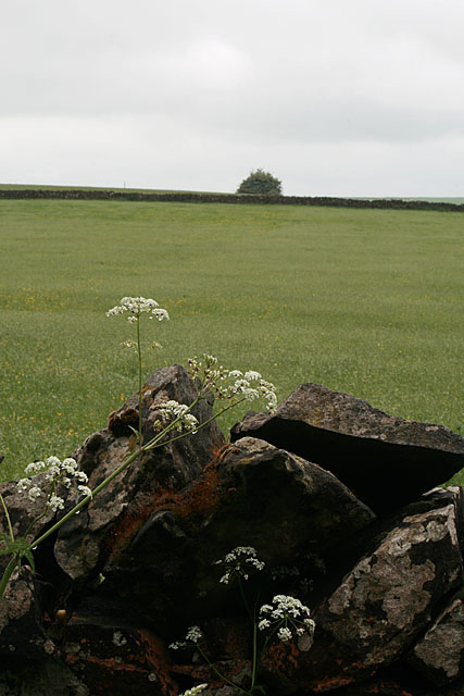 Wall, cow parsley and a distant tree