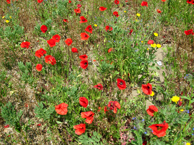 Poppies by Eastles Farm, Burgh Castle