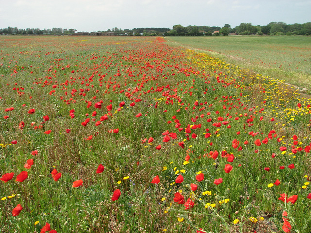 Poppies beside the path to Crow's Farm, Burgh Castle