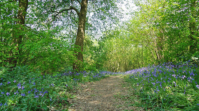 Bluebells in Copperas Wood