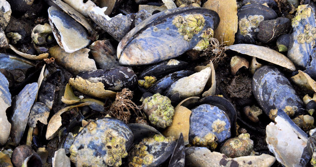 Mussel shells, Jordanstown