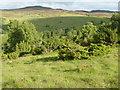 NN9351 : Juniper in the Scottish Wildlife Trust - Balnaguard Glen reserve by Russel Wills