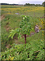 Dist:0.4km<br/>Near a drainage culvert. http://www.languard.co.uk/invasive-weed-management/giant-hogweed http://www.ayrshireriverstrust.org/