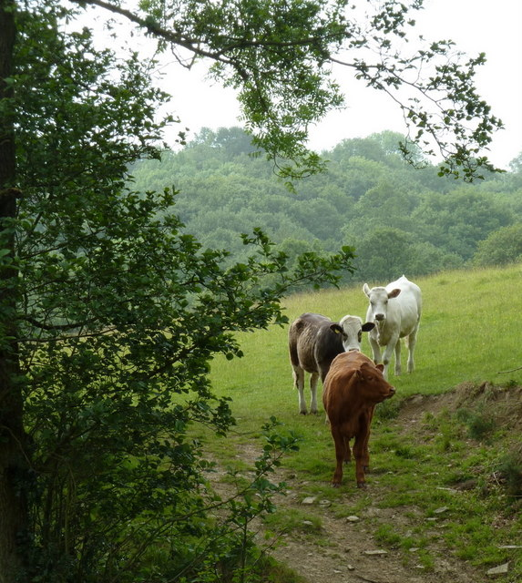 Cattle above Birley Brook