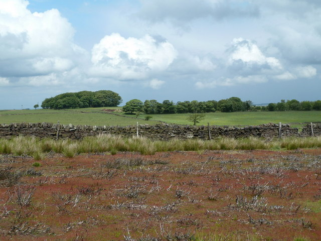 Moorland regrowth starting after heather burning