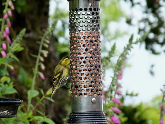 Siskin at Bird Feeder