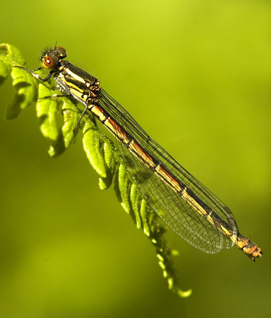 Female large red damselfly at Risley Moss NR