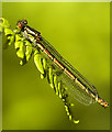 SJ6691 : Female large red damselfly at Risley Moss NR by Gary Rogers