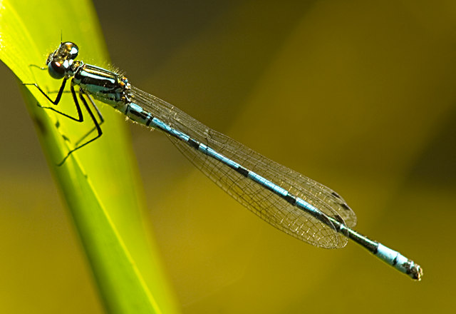 Male azure damselfly at Risley Moss NR