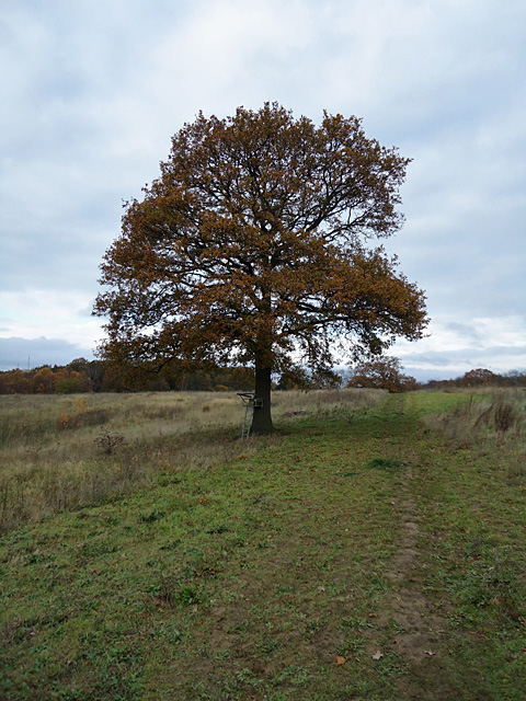 Autumn Tree, Hullback's Grove