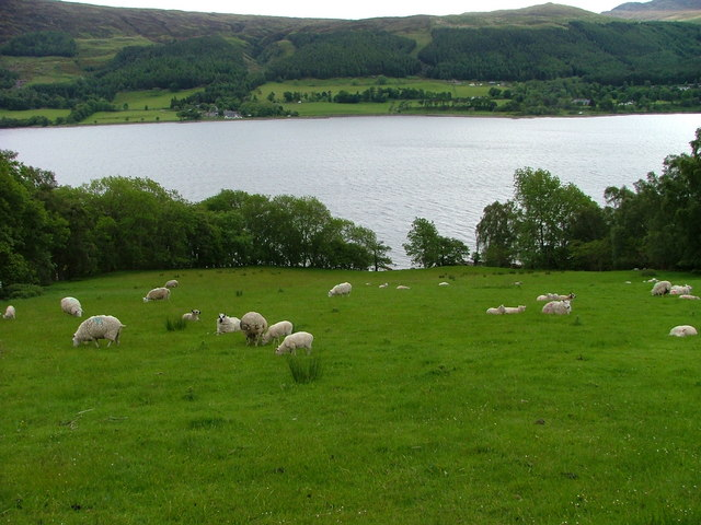 Sheep grazing above Loch Broom