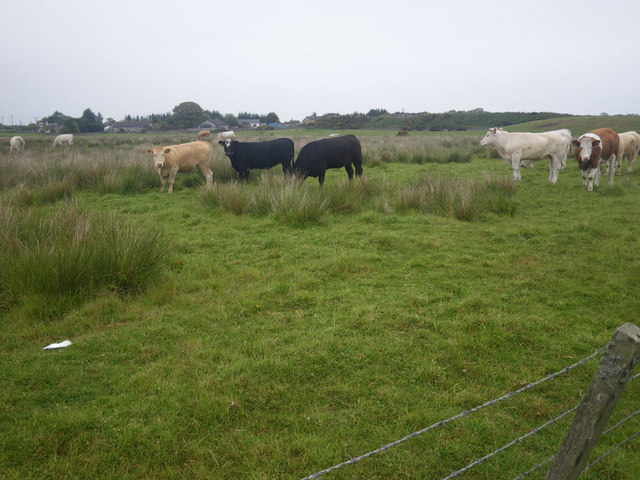 Cows grazing not far from the coastline