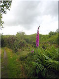 SW6833 : Foxglove beside the footpath on Porkellis Moor by Rod Allday