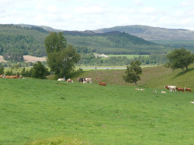 Cattle grazing near Old Milton