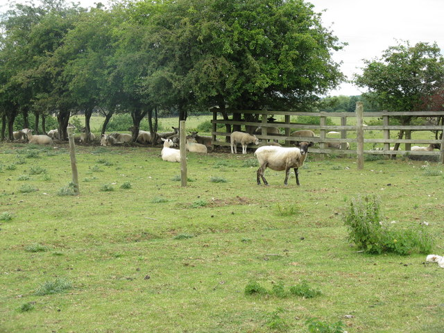 Sheltering sheep by St Neot's Road