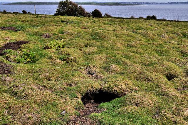 Rabbit burrows, Lighthouse Island