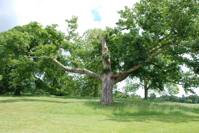 Old Tree, Weston Park