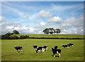 SD4653 : Cows north of Cockerham : Week 25