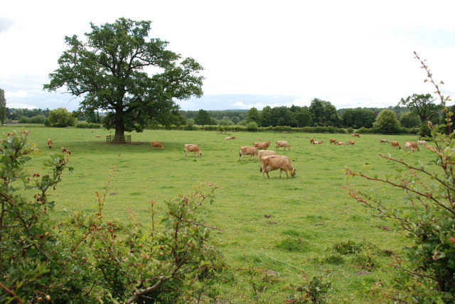 A Field of Jersey Cows.