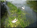 TL0054 : Parent swans and three cygnets by M J Richardson