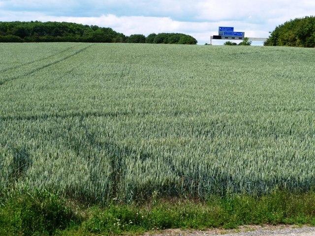 Wheatfield west of Womersley Road