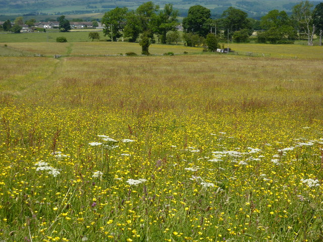 Wild flower meadow, Bakewell