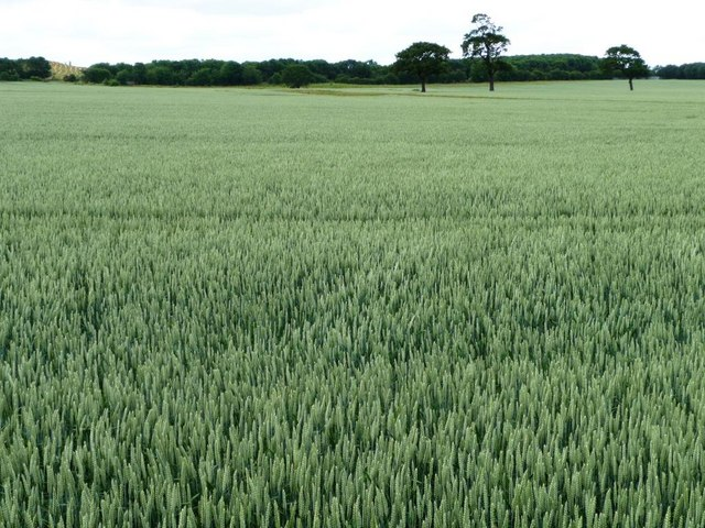 Wheatfield with trees