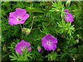NZ1266 : Bloody Cranesbill (Geranium sanguineum), Heddon Common Butterfly Garden : Week 26
