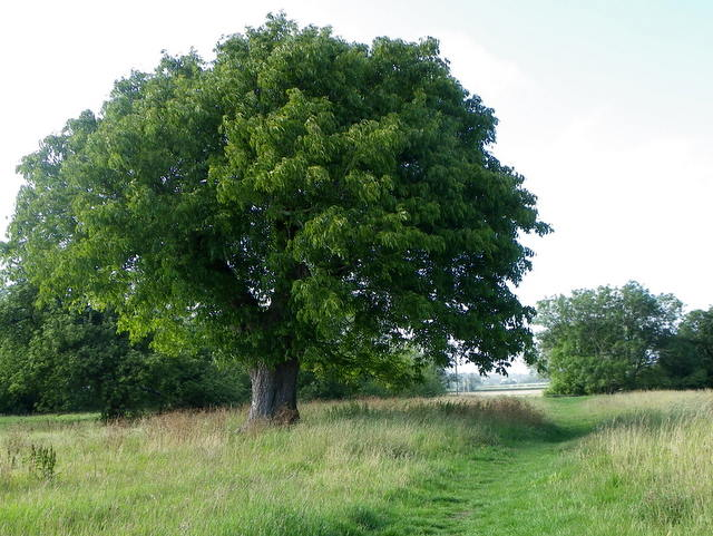 Piante Di Noce : The walnut tree sturminster marshall maigheach gheal