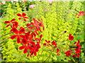 SP1346 : Pelargonium ignescens by Jonathan Billinger